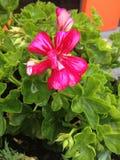 Red Flower. It's a beautiful european flower stock photo