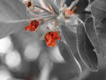 Red flower - selective colour Royalty Free Stock Images