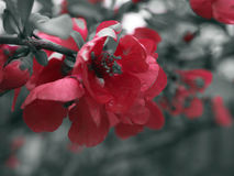 Red flower - selective colour Stock Image