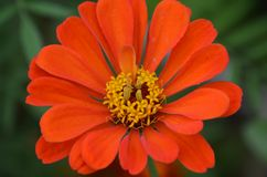 Orange-red flower on summer meadow closeup stock images