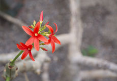 Red flower shrub Jatropha macrantha. Jatropha macrantha, also called the Huanarpo Macho or more recently Peruvian Viagra, is a medium size shrubby tree species Royalty Free Stock Images