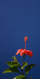 Red flower and sky. Red flower, green leaves and blue sky Royalty Free Stock Image