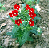 Red flower. A small red flower on a farm royalty free stock photo