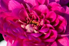 Red flower with small petals in macro Stock Photo