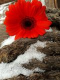Red flower on snow and cope background. Red flower - gerbera - on brown cope and snow Royalty Free Stock Images