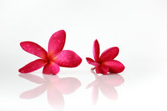 Red flower spa. Red flower with water drops and reflection on white background Stock Image