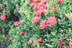 Red flower spike beautiful on the tree  Rubiaceae Ixora coccinea Royalty Free Stock Images