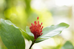 Red flower spike Royalty Free Stock Photos