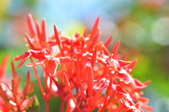 Red Flower spike Royalty Free Stock Image