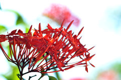 Red Flower spike Stock Images