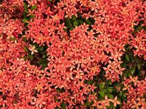 Red flower spike, Rubiaceae flower. Ixora coccinea It is a flowering shrub native to Southern India and Sri Lanka Stock Photography