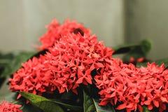 Red flower spike Rubiaceae Ixora coccinea Royalty Free Stock Photo