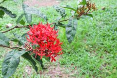 Red flower spike water drop, Rubiaceae Ixora coccinea Stock Images