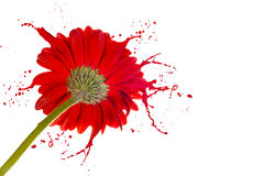 Red flower with splashes Royalty Free Stock Photos