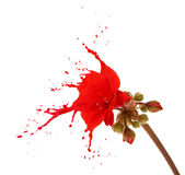 Red flower splashes Royalty Free Stock Images