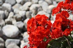 Red, Flower, Stones, Pelargonium Royalty Free Stock Photos