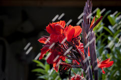 Red Flower and The Stoping Rain. Just a summer rain in the garden Stock Images
