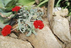 Red flower of succulent Crassula perfoliata var. minor. Decorative plants royalty free stock images