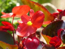 Red flower in summer sun. Nature, spring, garden, plant stock images