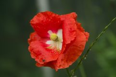 Red flower summer wallpaper royalty free stock photography