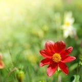 Red flower in sunlight Stock Images