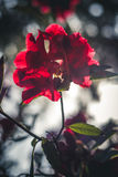 Red flower in sunlight. Royalty Free Stock Photos