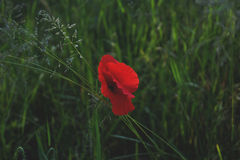 Red Flower Surrounded by Green Grass Royalty Free Stock Photography