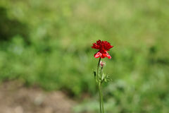 Red flower on a thin long stalk. On the background heavily blurred light green background Stock Photography