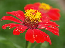 Red Flower with torn petals Stock Images