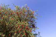 Red flower tree Royalty Free Stock Photos