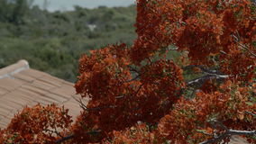 Red flower tree near the sea. A shallow depth of field of a red flower tree with ocean view in the background stock video footage
