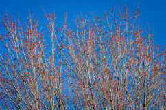 Red flower trees and blue sky Stock Photo