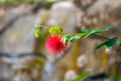 Red flower. Trees red flower, Calliandra inequillatera red powder-puff. photo taken on: Feb 2nd 2014 Stock Photos