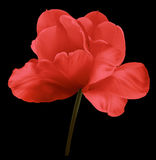 Red flower tulip on the black isolated background with clipping path. Close-up.  no shadows. Shot of White Colored. Nature Stock Photo