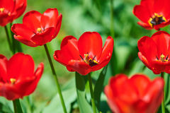 Red flower tulip closeup in field Royalty Free Stock Photos
