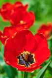Red flower tulip closeup in field Royalty Free Stock Images