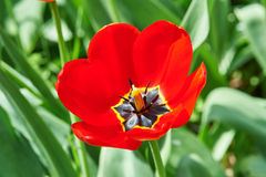 Red flower tulip closeup in field Royalty Free Stock Photography