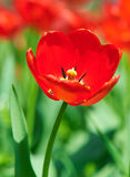 Red flower tulip closeup in field Stock Photos
