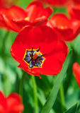 Red flower tulip closeup in field Royalty Free Stock Image