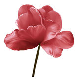 Red flower tulip on a white isolated background with clipping path. Close-up.  no shadows. Shot of White Colored. Nature Royalty Free Stock Photography