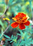 Red flower on turquoise background. Flower marigold royalty free stock photography