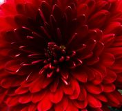 Red flower. Very beautiful red flower with love from me stock photography