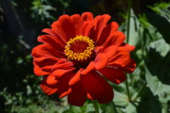Red flower Royalty Free Stock Photo
