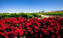 Red Flower Vineyard. Colorful Vineyard in the Barossa Valley, South Australia stock images