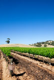 Red Flower Vineyard. Colorful Vineyard in the Barossa Valley, South Australia royalty free stock images
