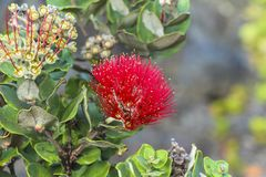 Red flower in Volcano National Park, Big Island Hawaii. Red flower in Volcano National Park on Big Island Hawaii Stock Photo