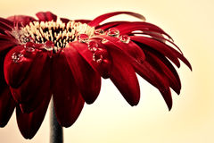 Red flower with water drops Stock Image