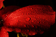 Red flower with  water drops Stock Photo