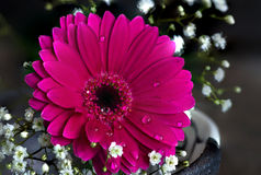Red flower with water drops on petals Stock Image