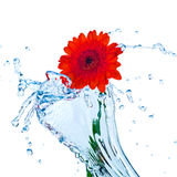 Red flower with water splash. Isolated on white royalty free stock photos